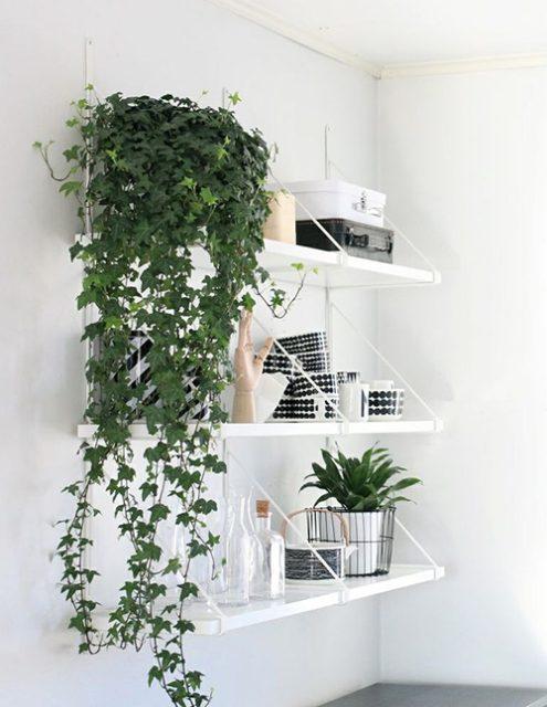 cây thường xuân trong nhà 6